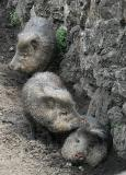 You May Smell A Peccary Before You See It.