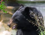 This Silly Photographer Went All The Way To The Canadian Rockies, And His Best Shot Of A Black Bear Was Right Here In The Zoo!