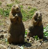 Two Prairie Dogs Playing The Harmonica