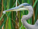 Great Blue Heron With Feather