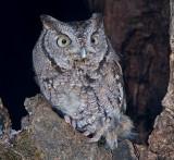 Eastern Screech Owl 5