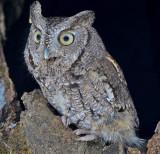 Eastern Screech Owl 6