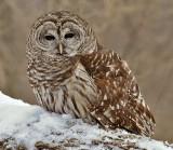 Barred or Hoot Owl 6