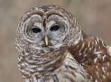 Barred or Hoot Owl 7