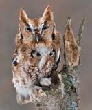 Eastern Screech Owl 7