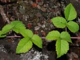 Rubus Macraei