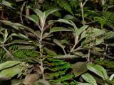 Phyllostegia Velutina