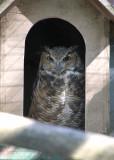 Gray-horned Owl
