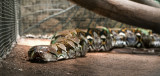 Barbados Wildlife Reserve: Python