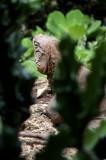 Barbados Wildlife Reserve: Iguana