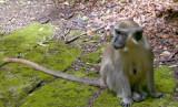 Barbados Wildlife Reserve: The Green Monkey