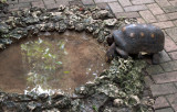 Barbados Wildlife Reserve: A Thirsty Turtle