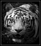 White Tiger  pengu1n