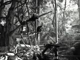 Colobus monkeys at San Diego Zoo  (TonySx)