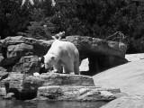 Polar Bear at San Diego Zoo  (TonySx)