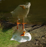 Aussie Goose MxCat