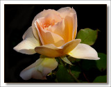 this rose is special to me .....as u are Mike
