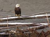 Eagle along the Nooksack