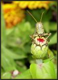 Grasshopper  by Cynthiana Kenison