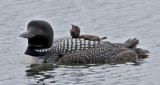 Loons, Grebes and Waterfowl
