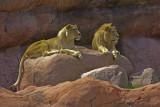 Lions Toronto Zoo