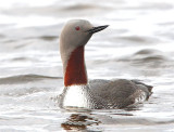 Red-throated Diver  Mainland