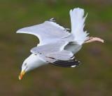 Herring Gull  Mainland