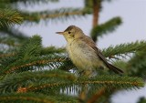 Melodious Warbler   Unst