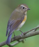 Red-flanked Bluetail  Shetland