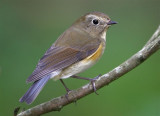 Red-flanked Bluetail  Mainland