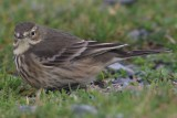 Buff-bellied Pipit   Mainland