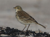 Water Pipit   East Lothian