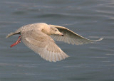 Glaucous Gull  Norway