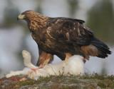 Golden-Eagle-7183.jpg