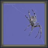 Platinum Moon Spider