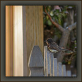 Immature Black Phoebe Stylin' With A Succulent Jade Plant Backdrop