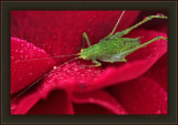 Where's My Starbucks® Gus? Katy - did get a little grumpy during morning-dew shoots, but Katydid dew ;-)