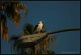 Santa Monica Seagull Basking In The Warm Pre-Sunset Light