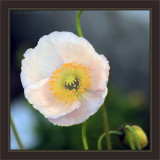 There's ®Disc TV And This Is Disc ®ProzacPapaver nudicaule aka Iceland Poppy