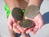 He found sand dollars everywhere