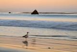 Sea Gull on San Simean State Beach at Sunset