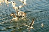Seagull Feeding Frenzy