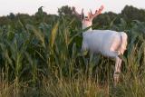 Albino buck #3