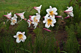 Christmas Lillies by Dennis