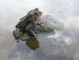 no toad is an island - brenda