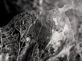 Skeletonized leaf - OaklandWoody