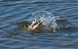 Dive Dive Dive! by Private Custard