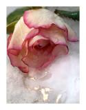 Winter Rose - Colin