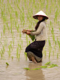 Work in a ricefield by Geophoto