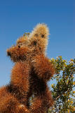 Cholla - Jumping cactus